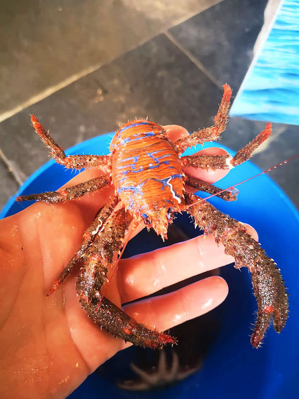 Squat Lobster Delivery